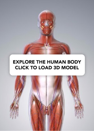 Is the penis a muscle or an organ