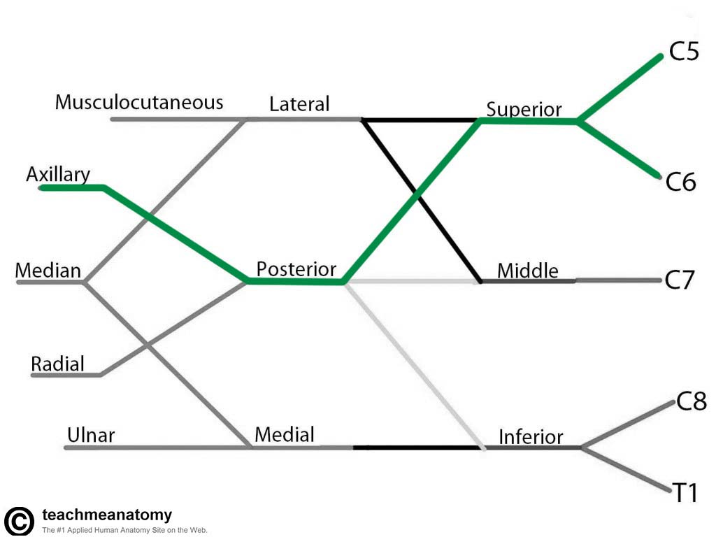 Fig 1.4 - The derivation of the axillary nerve from the brachial plexus.