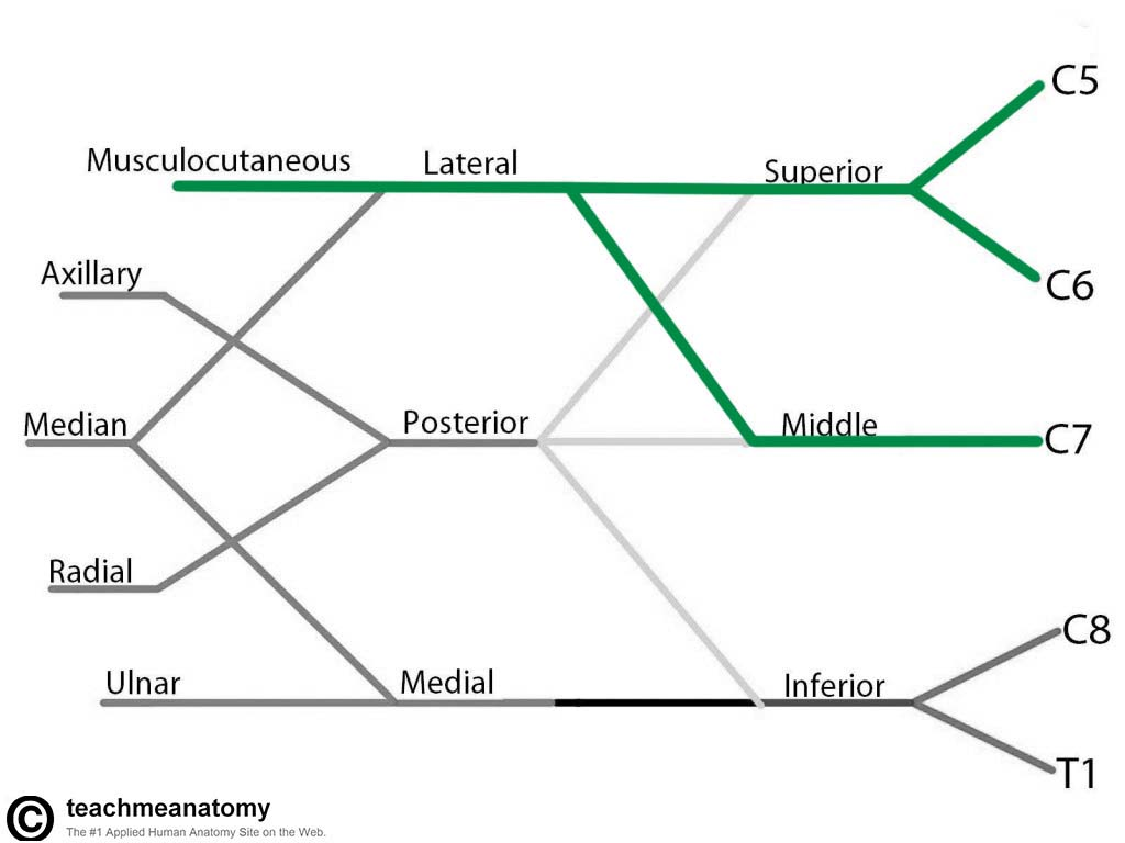 Fig 1.2 - The derivation of the musculocutaneous nerve from the brachial plexus