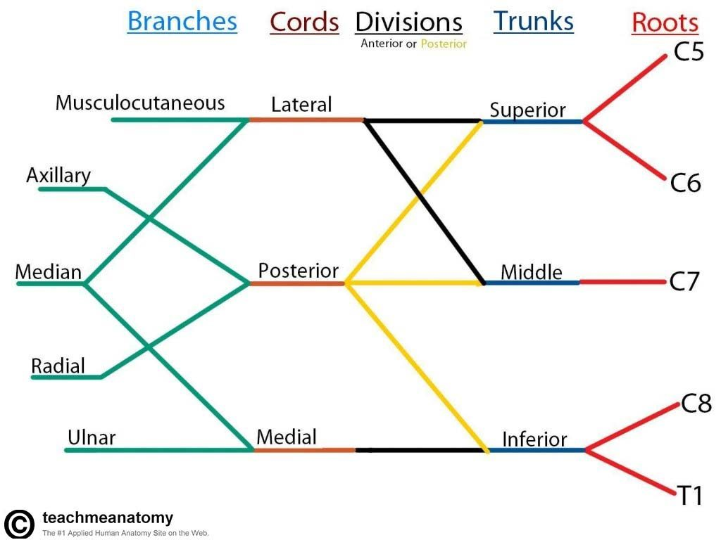 The Brachial Plexus Sections Branches Teachmeanatomy