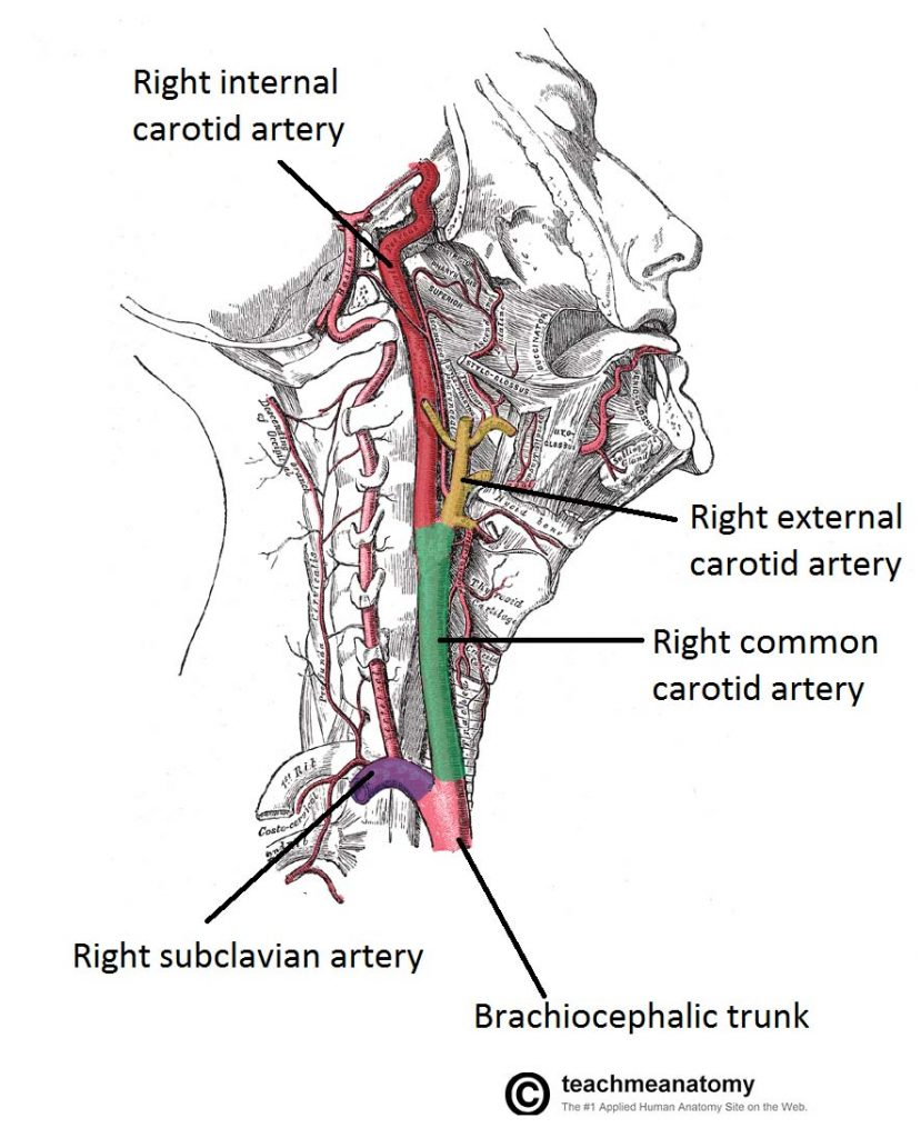 Fig 1.0 - Lateral vein of the neck, showing the origin and bifurcation of the common carotid artery.