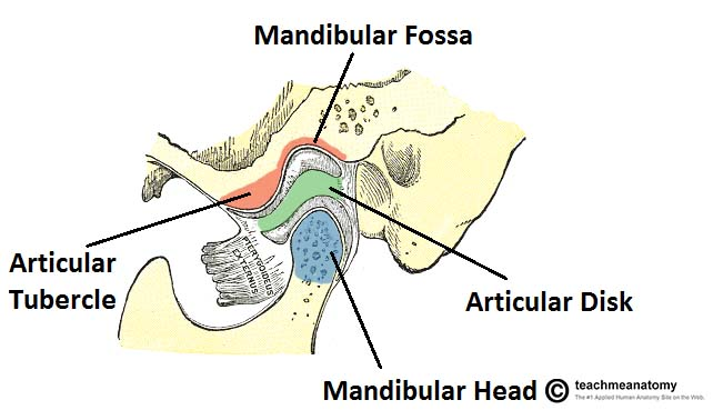 Fig 1.0 - The osteology of the temporomandibular joint