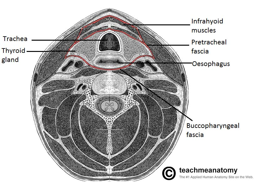 Fig 1.2 - Transverse section of the neck, showing the pretracheal fascia in red.