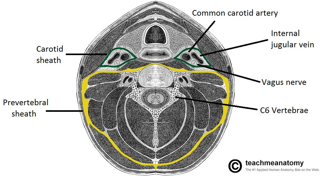 Fig 1.3- Transverse section of the neck. The carotid sheaths and prevertebral sheaths are highlighted.