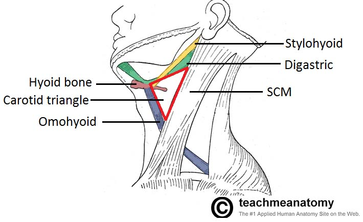 Fig 1.1 - Carotid triangle of the neck