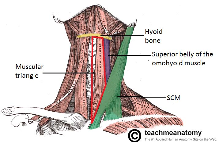 Fig 1.4 - Anterior view of the neck, showing the muscular triangle.