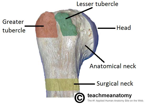 the humerus - proximal - shaft - distal - teachmeanatomy, Cephalic Vein