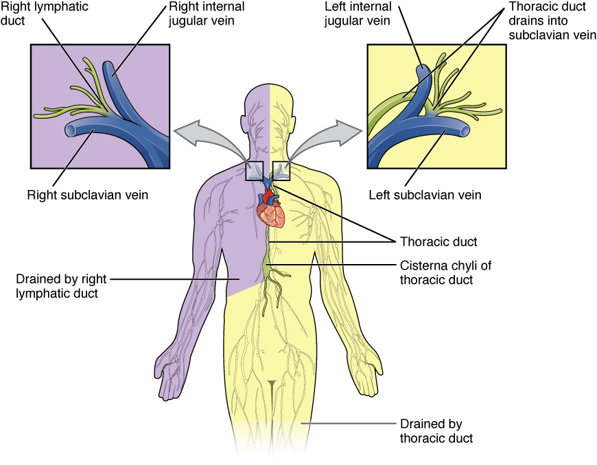 Fig 3 - The left and right lymphatic ducts.