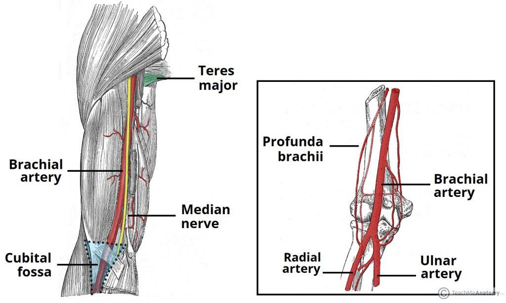 Arterial Supply To The Upper Limb Subclavian Brachial