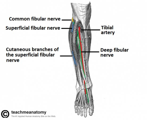 nerves of the lower limb teachmeanatomy Plane Diagram of Lower Extremity Nerves