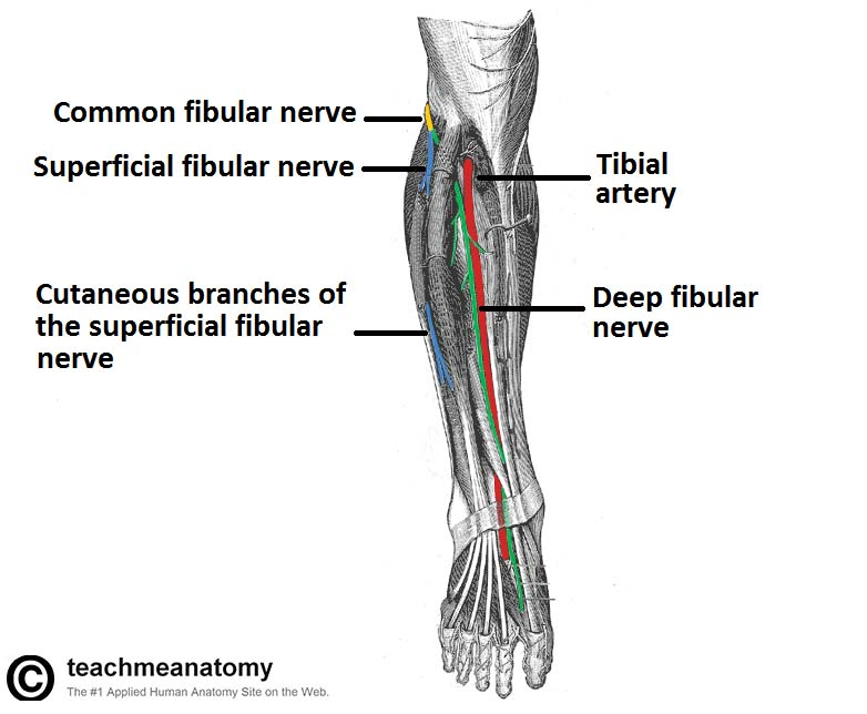 Fig 1.1 - Anterior view of the leg, showing the major nerves. The proximal portion of the fibularis longus has been removed to show the bifurcation of the common fibular nerve.