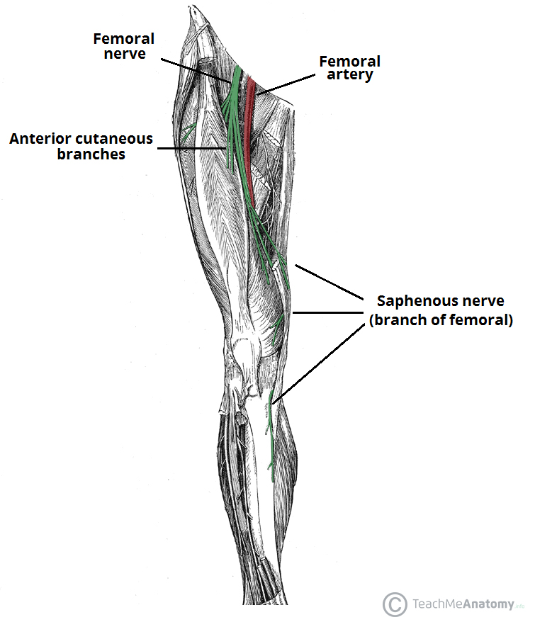 Fig 1 - Anatomical course of the femoral nerve and its two cutaneous branches - anterior cutaneous fibres and saphenous nerve.