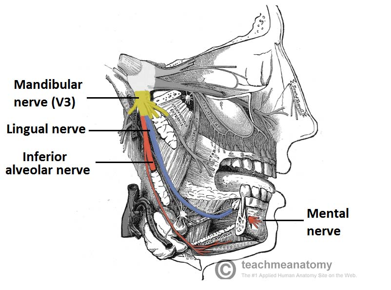 Fig 1.5 - Anatomical course of the inferior alveolar and lingual nerves. Note the close proximity of the two nerves. The portion of the inferior alveolar nerve that runs through the mandibular canal has been removed.