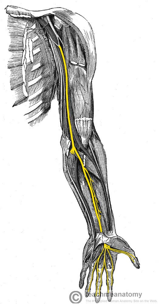 Fig 1 - Anatomical course of the median nerve through the upper limb.