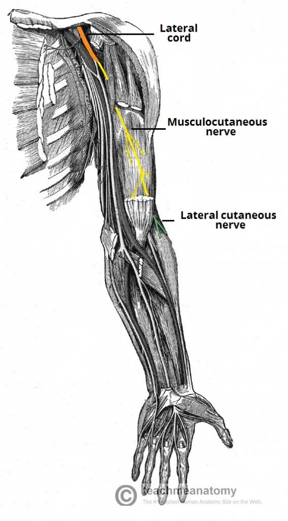 Fig 1.0 - The anatomical course of the musculocutaneous nerve.