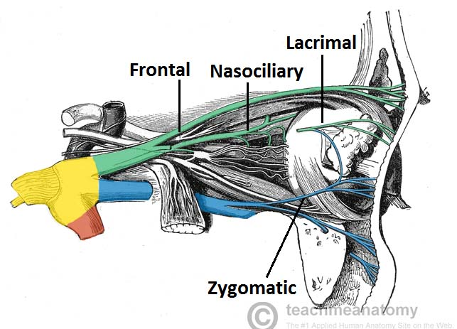 Fig 1.2 - Nervous supply to the orbit from the opthalmic and maxillary nerves (other nerves. eg. orbital not labelled)
