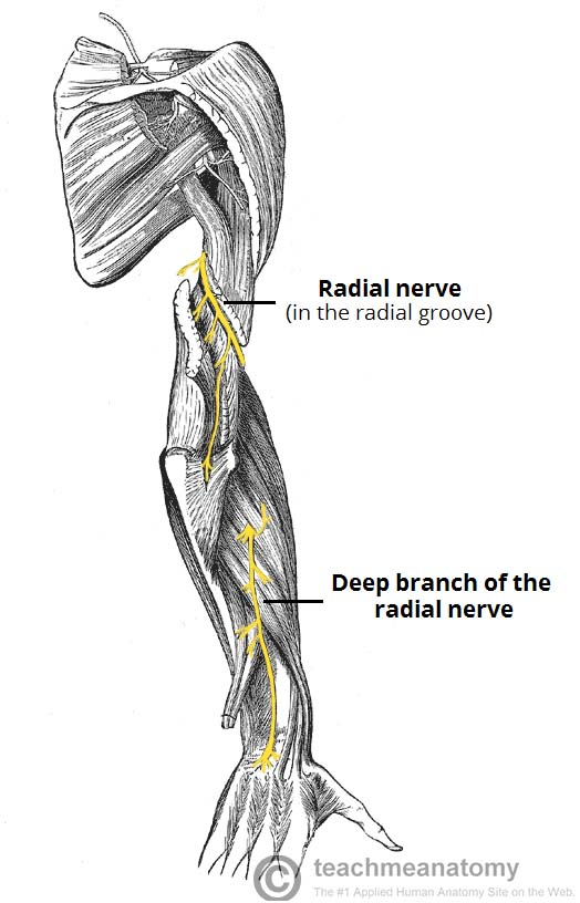 Fig 1 - View of the posterior arm, showing the anatomical course of the radial nerve