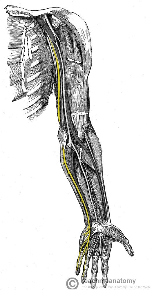 Fig 1.0 - Anatomical course of the ulnar nerve through the upper limb.