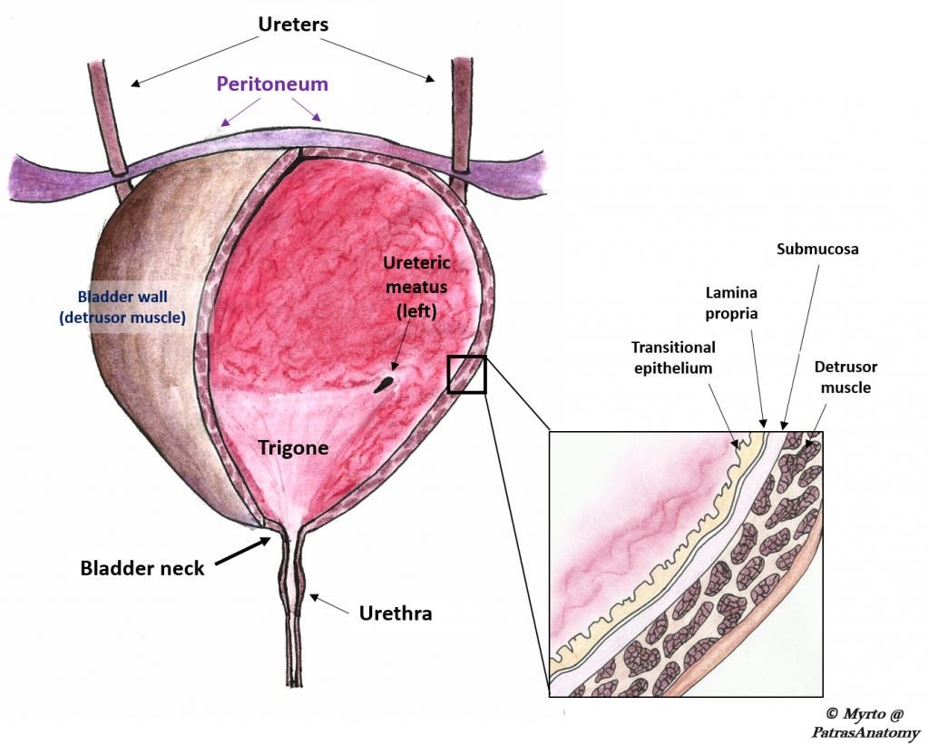 fig 2 – anatomical features of the bladder
