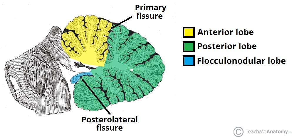 Fig 1.1 - Anatomical lobes of the cerebellum.
