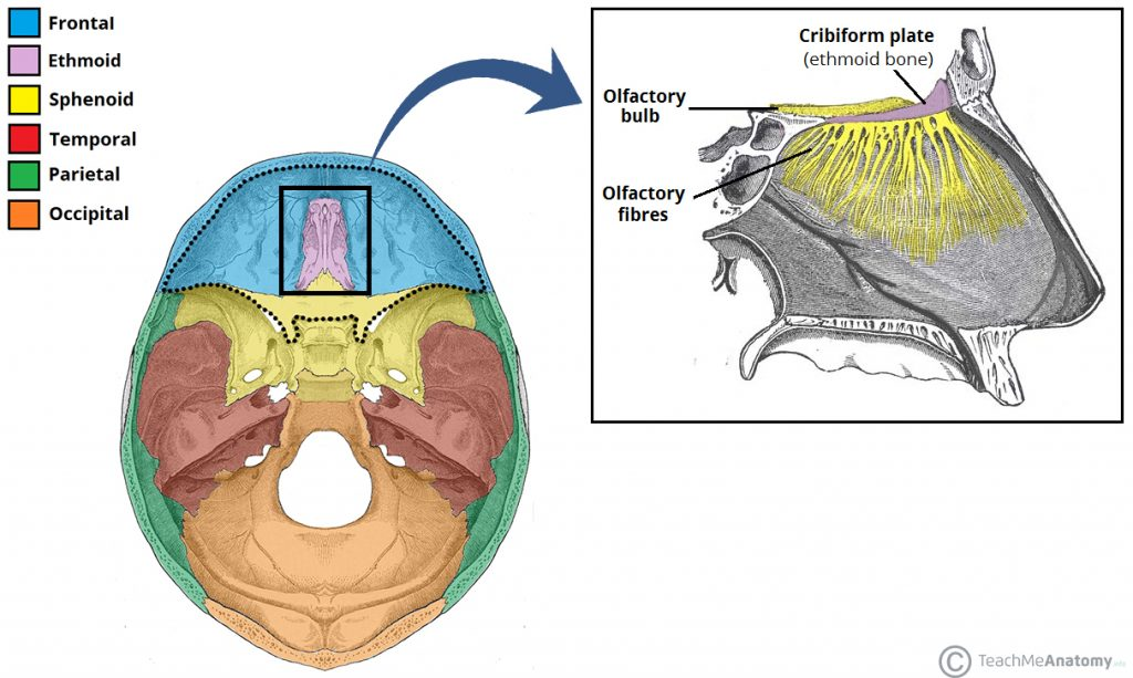 ethmoid bone - location - structure - relationships - teachmeanatomy, Sphenoid