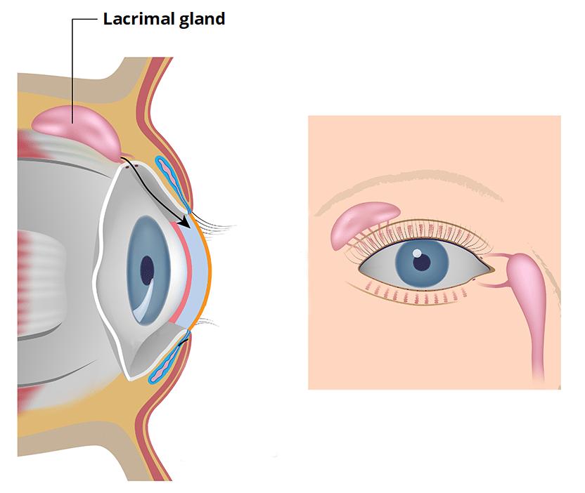 Lacrimal Glands and Apparatus - Vasculature - Innervation - TeachMeAnatomy