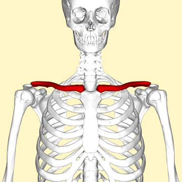Fig 1.0 - The anatomical position of the clavicle