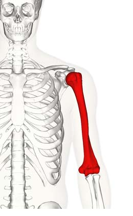 Fig 1.0- Overview of the anatomical position of the humerus