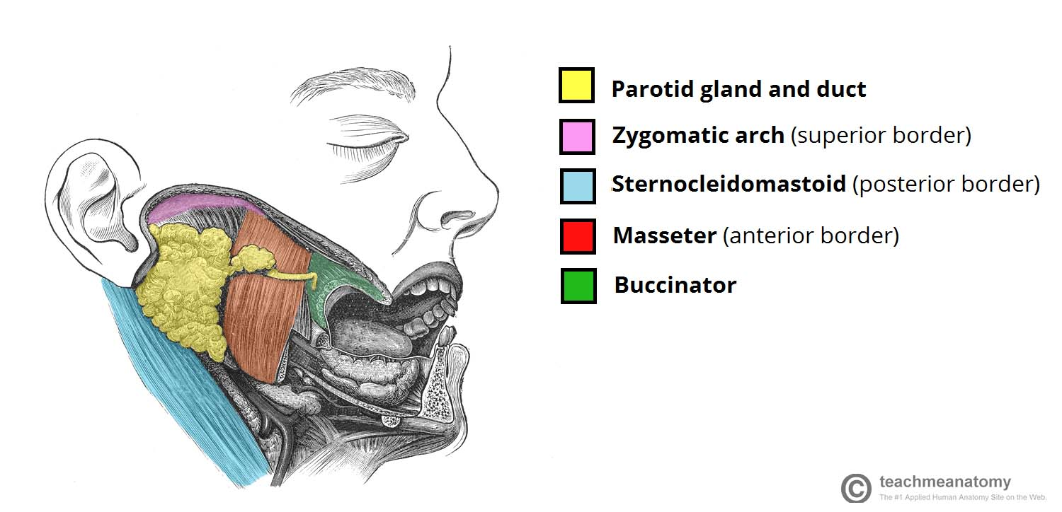 Fig 1.0 - Position of the parotid gland and borders of the parotid region.