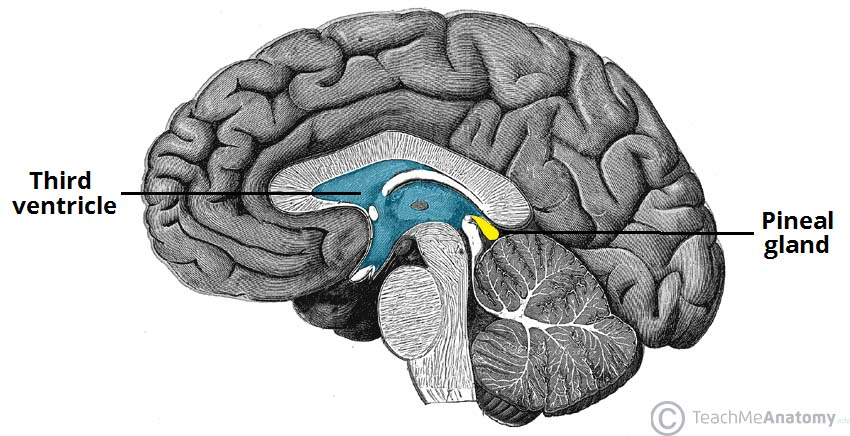 Fig 1.0 - Sagittal section of the brain, showing the midline position of the pineal gland