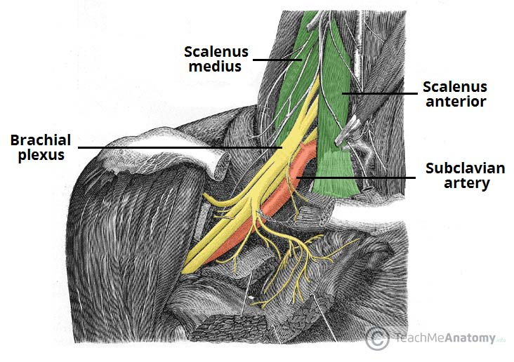 Fig 1.0 - Proximal portion of the brachial plexus, in the neck.