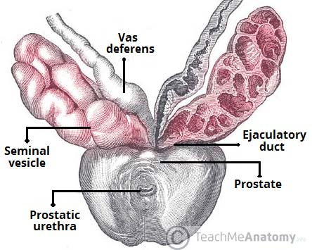 Fig 1.0 - Anatomical position of the seminal vesicles in relation to the vas deferens and prostate.