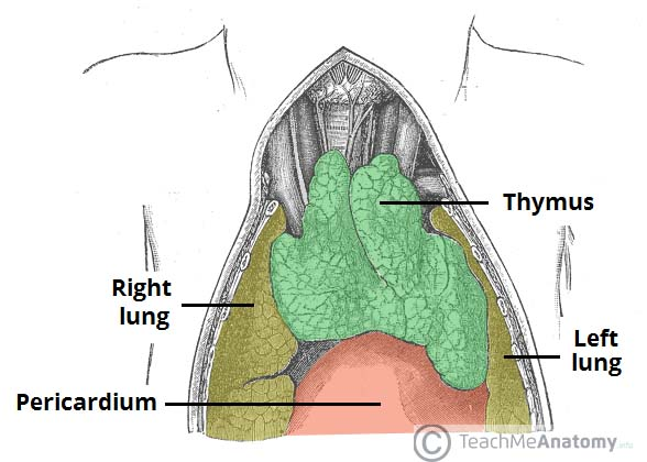 Fig 1.0 - The anatomical position of the thymus in the superior mediastinum.