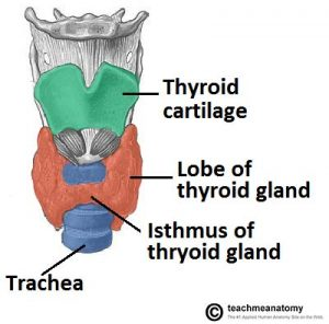 Fig 1.0 - Anterior view of the neck, showing the anatomical position of the thyroid gland