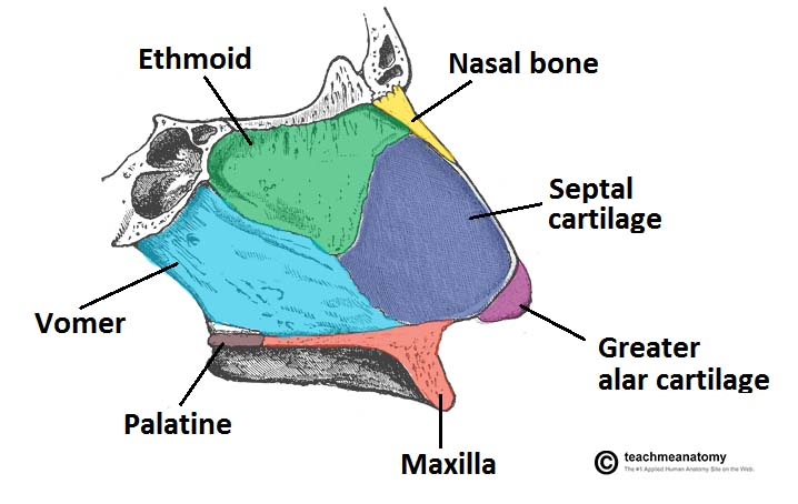 Fig 1.2 - Lateral view of the side of the nasal septum.