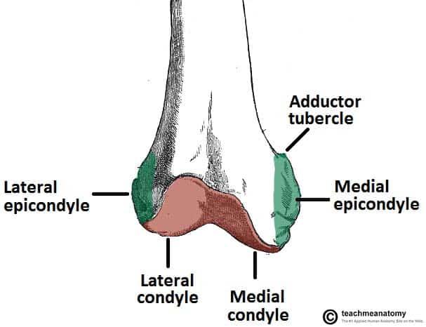The Femur - Proximal - Distal - Shaft - TeachMeAnatomy