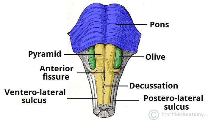 Fig 2- Anterior surface of the medulla.