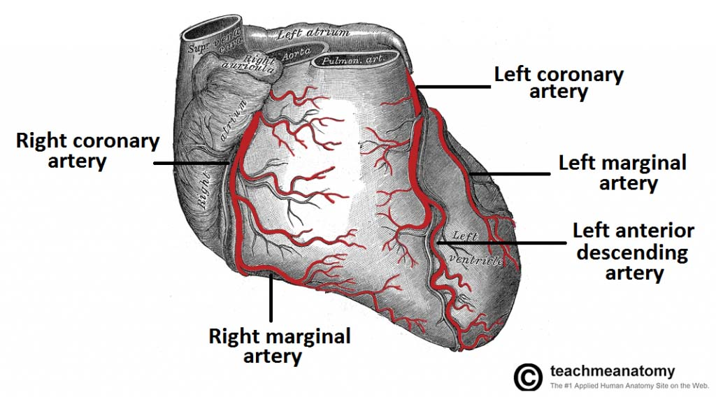 Fig 1.1 - Blood supply to the anterior surface of the heart. Blockage of any of these arteries could result in a myocardial infarction.
