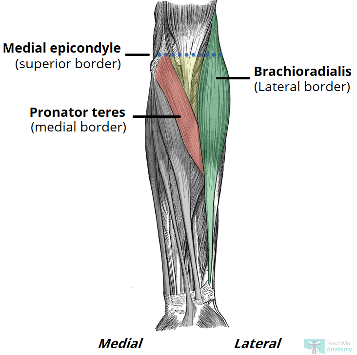 Fig 1.0 - Anterior view of the superficial forearm, showing the borders of the cubital fossa.