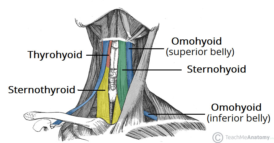 Fig 1.1 - Anterior view of the neck musculature. The right sternohyoid muscle has been removed to show the underlying muscles