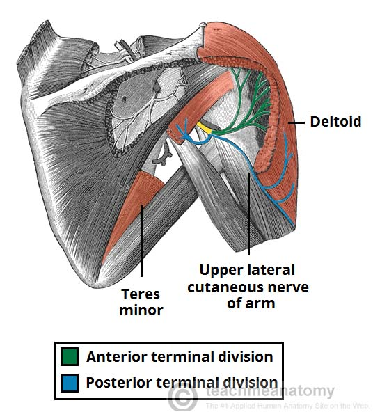 Fig 1 - The anterior and posterior divisions of the axillary nerve