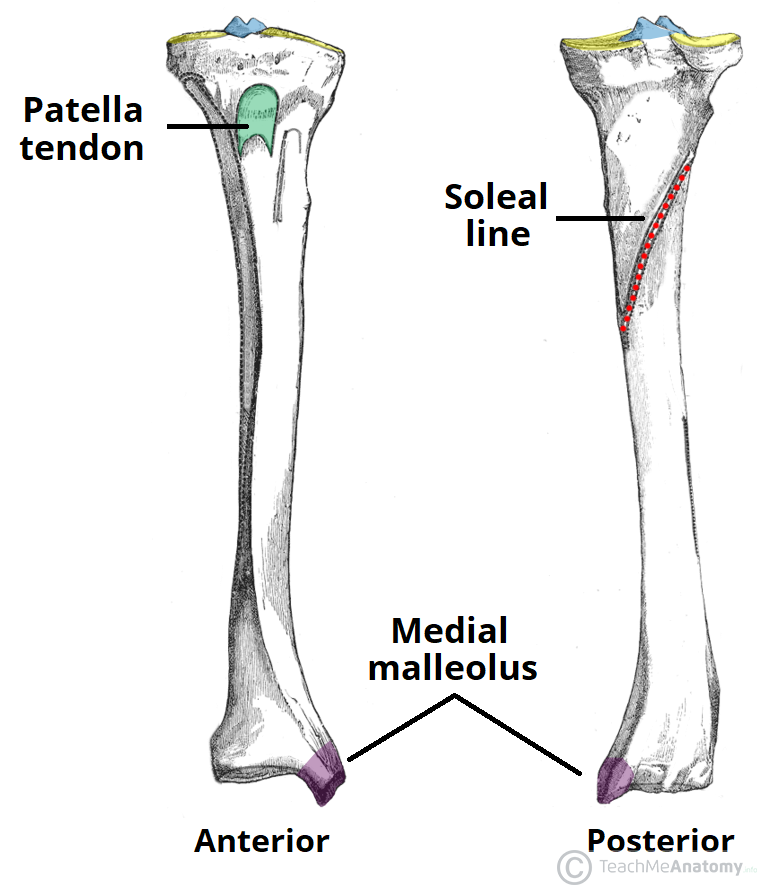 the tibia - proximal - shaft - distal