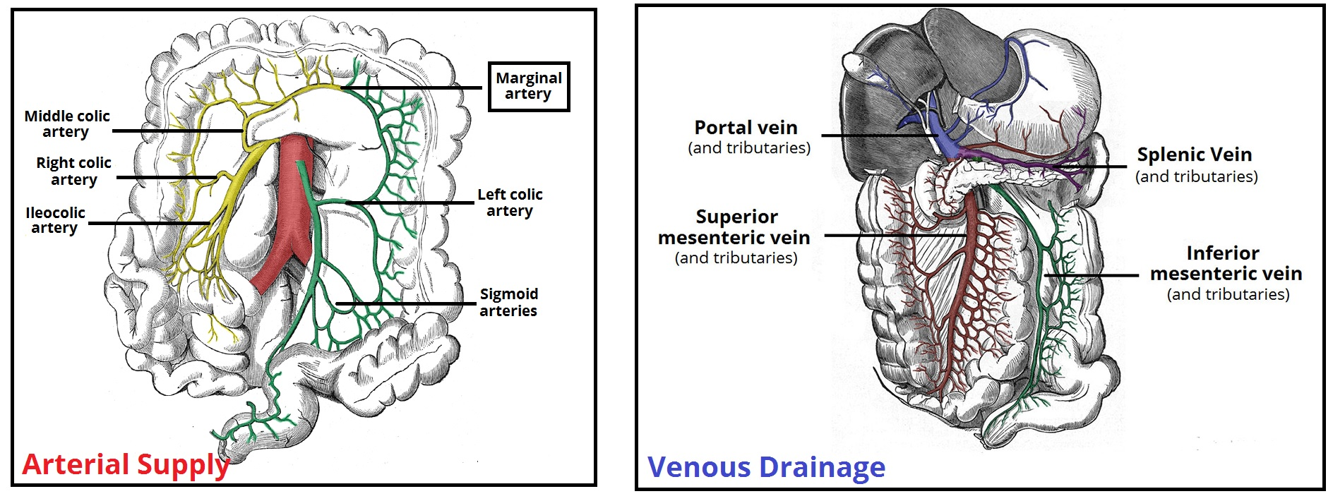Fig 3 - The major arteries and veins supplying the colon.