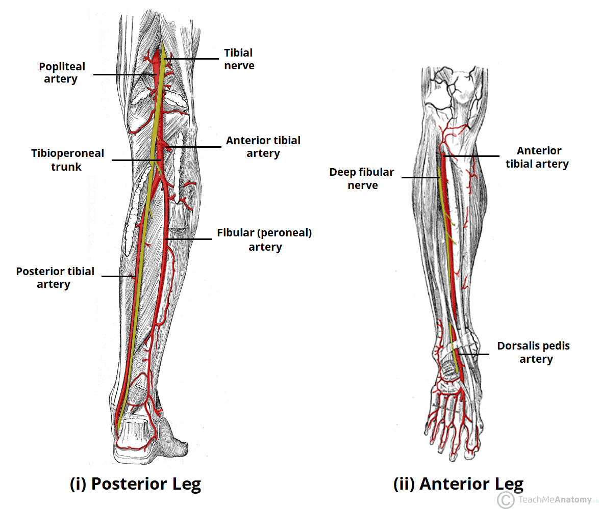 Lower Leg Diagram