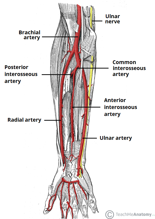 Arterial Supply to the Upper Limb - Subclavian - Brachial