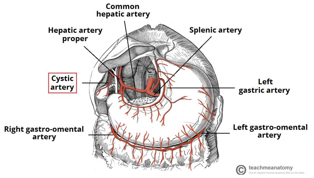 Fig 1.2 - Arterial supply to the gallbladder view the cystic artery.