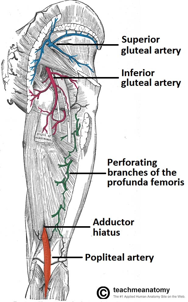 Arteries Of The Lower Limb Thigh Leg Foot Teachmeanatomy