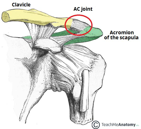 The Acromioclavicular Joint Structure Movement Teachmeanatomy
