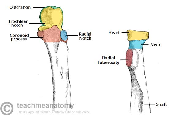 Fig 1.1 - Articulating surfaces of the proximal radioulnar joint.
