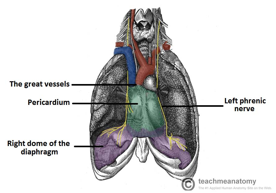 Fig 1.4 - Anterior view of the pericardium. Note the attachments to the diaphragm, and the roots of the great vessels.